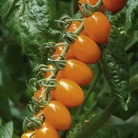 Tomato Grafted Plants - Santorange