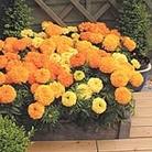 Marigold African Plants - Sunspot Mix