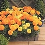 Marigold (African) Sunspot Mix Plants