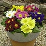 Primrose (<i>Primula acaulis</i>) F1 Suttons Select Mix Plants