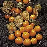 Patio Veg Plants - Collection