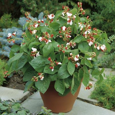 Bean - Dwarf Runner Bean Hestia Plants