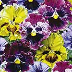 Pansy (<i>Viola x wittrockiana</i>) Frizzle Sizzle Plants