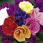 Primula <i>acaulis</i> (Primrose) Romio Mix Plants