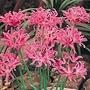 Nerine Bulbs - bowdenii