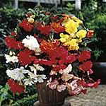 Begonia Tubers - Sensation Red