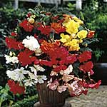 Begonia Tubers - Sensation Mixed
