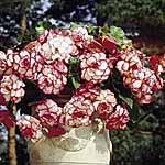 Begonia Tubers - Sensation Picotee Pink/Red
