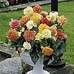 Begonia Tubers -  Expresso Pastel Mix