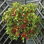 Tomato Plants - Hundreds and Thousands (Micro)