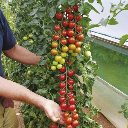 Tomato Turbo Conchita Grafted Plants - late April delivery
