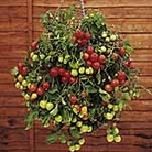 Tomato Tumbling Tom Pot Ready Plants