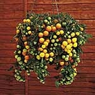 Tomato Tumbling Tom Yellow Plants