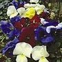 Pansy F1 Suttons Select Mix Plants