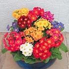 Polyanthus (<i>Primula polyantha</i>) F1 Spring Fever Plants