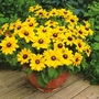 Rudbeckia Plants - Toto