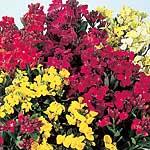Wallflower (<i>Cheiranthus cheiri</i>) Prince Mix Plants