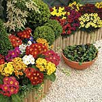 Spring Bedding Plant Collection