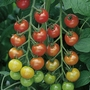 Tomato F1 Cherry Belle Plants