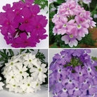Verbena Tapien Plant Collection