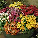 Nemesia Sundrops Mix Plants