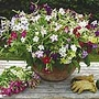 Nicotiana F1 Perfume Mix Plants (Tobacco Plant)