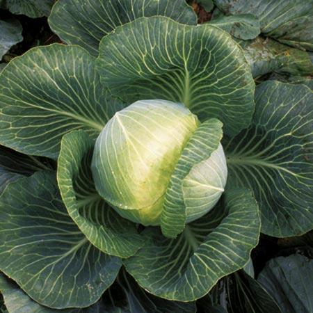 Cabbage Plants - F1 Kilaxy