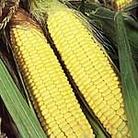 Sweet Corn Plants - F1 Sundance