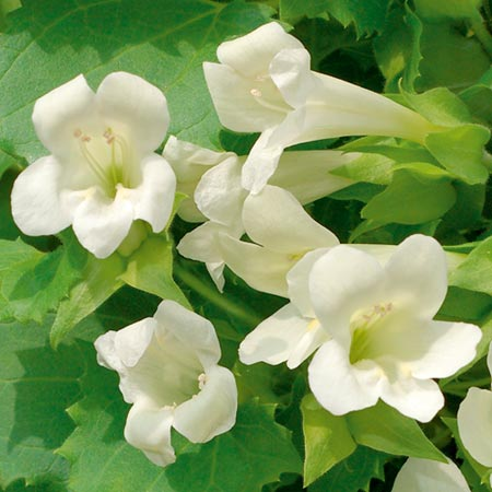 Lofos Plants - Summer Cream