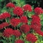 Knautia Red Knight Plants