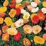 Poppy Garden Gnome Plants (Papaver)