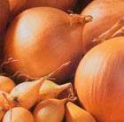 onion 'Sturon' (onion sets)