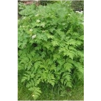 Chervil (herb) x 100 seeds