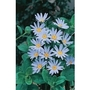 Felicia Blue (Marguerite Daisy) x 5 young plants