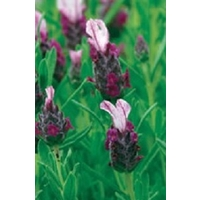 French Lavender Kew Red x 5 young plants