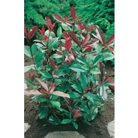 Photinia Red Robin x 5 young plants