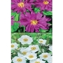 Japanese Anemone Mixed Pack x 10 plants