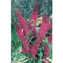 Buddleia (Butterfly Bush) Royal Red x 5 plants