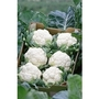 Cauliflower All Year Round Hybrid x 200 seeds