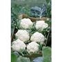 Cauliflower All Year Round Hybrid x 200 seeds