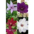 The Gardeners Clematis Collection