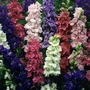 Delphinium Giant Imperial x 100 seeds