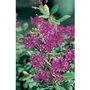 Hebe Shrubby Veronica Wiri Charm x 5 plants