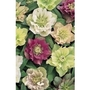 Hellebore Double Queen x 5 plants