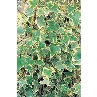 Hedera (Ivy) Gold Child x 5 plants