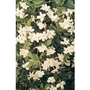 Jasmine (Nightshade) x 5 plants