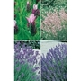 4 Mixed Lavender x 20 Plants