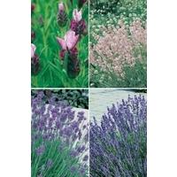 Lavender Avignon Collection