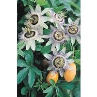 Passionflower Caerula x 5 plants