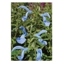 Salvia Patens Cambridge Blue x 5 young plants